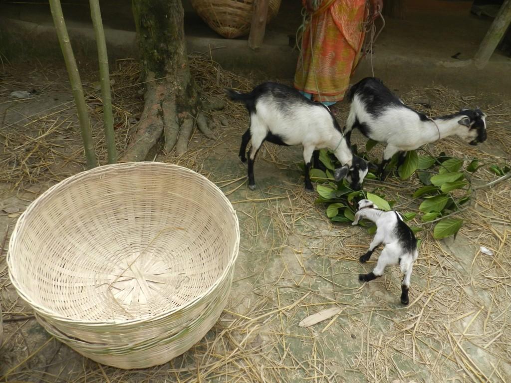Kozy s kůzletem (1)